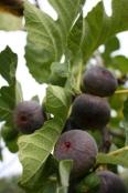 fig bearing fruit