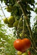 tomato fruit