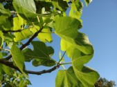 fruitless-fig-tree-300x225
