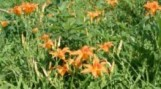 lilies-of-the-field-painting-220