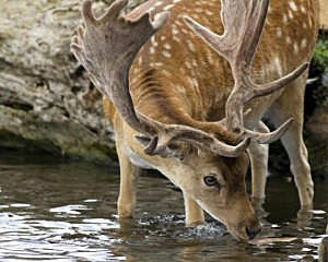 stag craving water